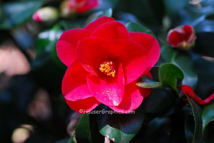 Camellias at Fenwick Hall Castle, John's Island, SC