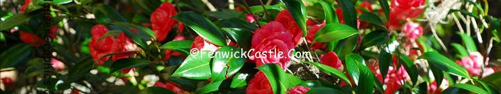 Camellia's of Fenwick Hall Plantation on John's Island, SC