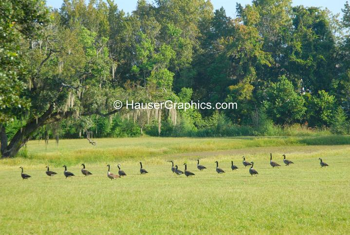 Storks, Hauser Photography, Fenwick, Stono, Penny's Creek, John's Island, Facebook, web design Charleston, Cruise ship, battery park, Gibbes museum, charleston historical society, drayton hall,
