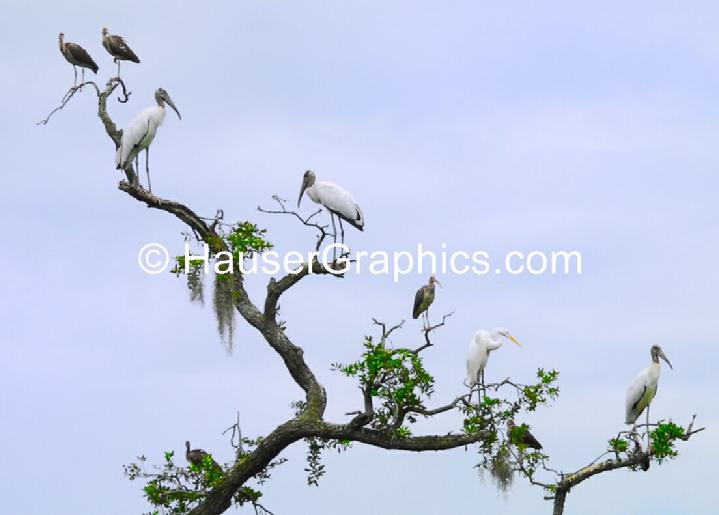 Adult and Baby endangered wood storks, fenwick ornamental ponds, 1730, revoluntary war, clinton, 1776, hauser photography, web design, john's island, stono birds, james island,