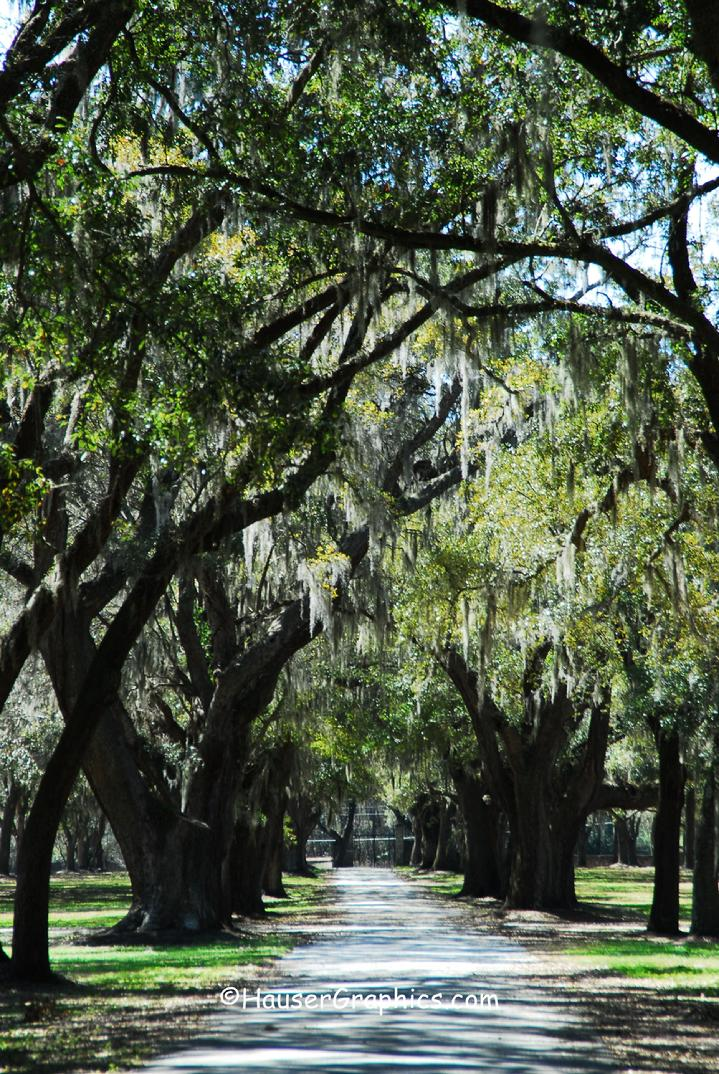 Live Oak Trees of Fenwick Hall, John's Island, SC, USA