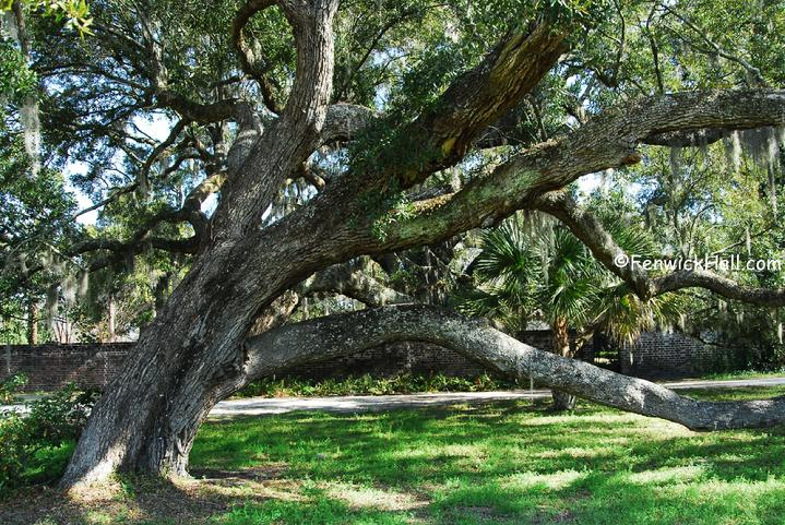 Ancient Live Oaks abound at Fenwick Hall on John's Island near Seabrook and Kiawah Island, SC
