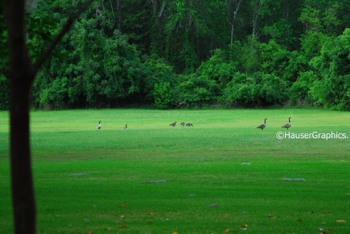 Canadian Geese invade Fenwick, Wild Life Preserve Charleston
