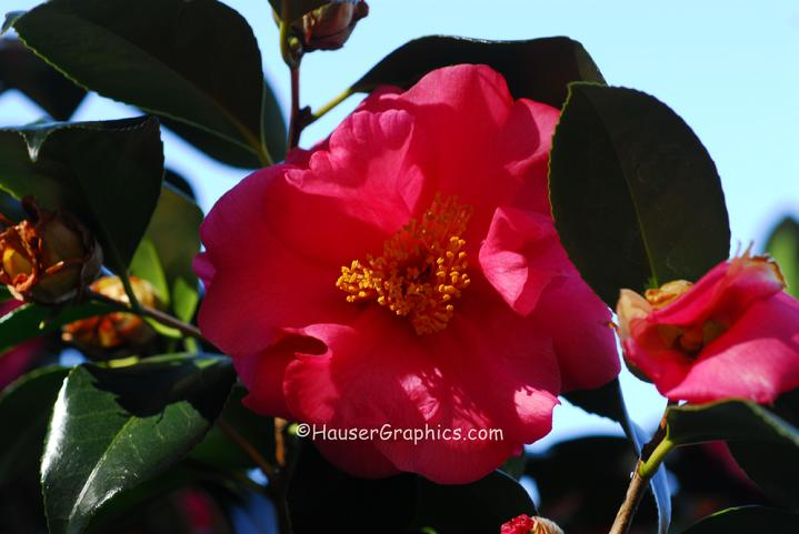 Charleston Camellias, Red Camellias at Fenwick Castle, John's Island,  River Road, Maybank Highway.