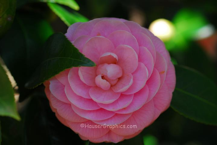 Pink Camellia in the old antique camellia gardens at Fenwick Hall Plantation on John's Island, SC