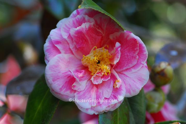 Victor and Marjorie Morawetz also grew Camellia's in their Fenwick Hall Gardens in the 1930's.