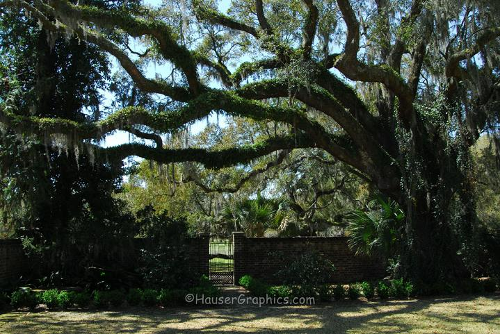 Fenwick Hall's historic Camellia Gardens on John's Island, SC